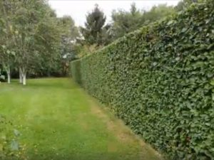 Beech hedge cutting, hedge trimming