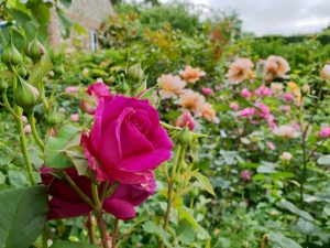 Rose garden maintenance