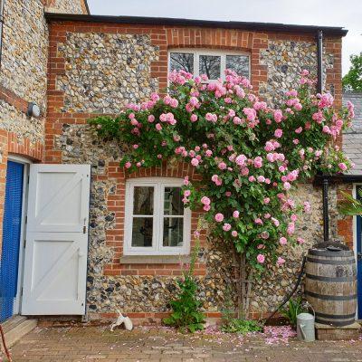 Climbing rose maintenance by gardener