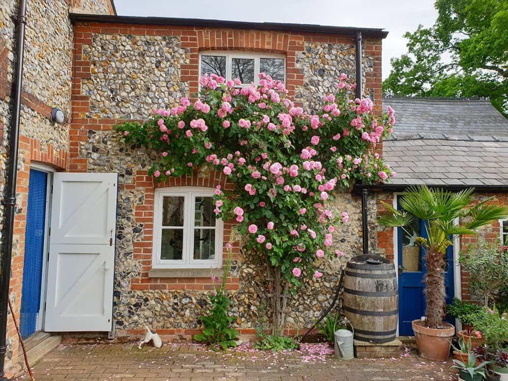 Rose garden pruning